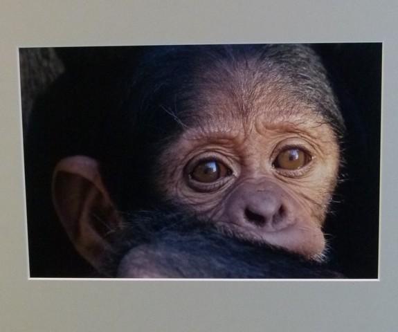1e Prijs Fauna / Chimpansee / Mike Wink